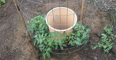 One Man's Genius Idea To Grow Tomatoes- keyhole garden, meets tomato cage, meets drip irrigation. Growing Tomatoes In Containers, Growing Vegetables, Grow Tomatoes, Veg Garden, Lawn And Garden, Vegetable Gardening, Garden Plants, Veggie Gardens, Organic Gardening