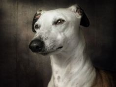 In a cool setting, a gorgeous Whippet dog focuses his caramel, expressive eyes into the distance as he has his photo taken.