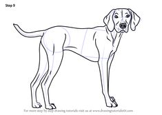 Learn How to Draw a Vizsla Dog (Dogs) Step by Step : Drawing Tutorials