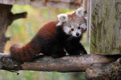 Galeria de fotos mostrando o lido panda vermelho.