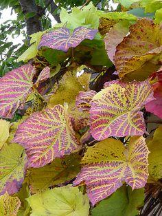 Les motifs d'automne de la vigne de Coignet http://www.pariscotejardin.fr/2012/11/les-motifs-d-automne-de-la-vigne-de-coignet/