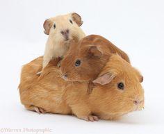 guinea pig baby - Buscar con Google