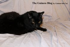 On Cats, Cat Hair, and Furniture, An Open Letter to Lovey by Guiness the Cat - Persona Paper