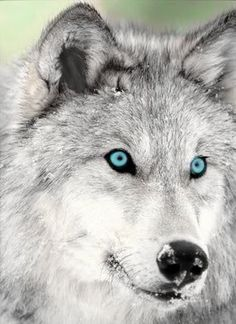 Fabulous white wolf, look at those eyes