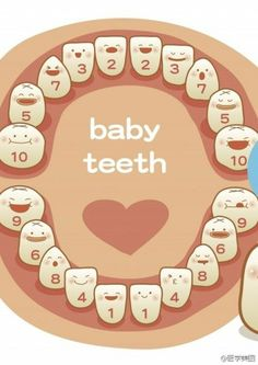 Baby teeth growing sequence www.loudounorthodontics.com #LoudounOrtho