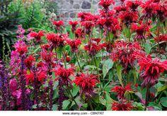 7 - 8 midsummer: monarda cambridge scarlet 90cm