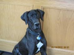 Siegi is an adoptable Great Dane Dog in Plymouth, MI. Hi, my name is Siegi (it sounds like Ziggy to me). I was found by the Michigan Anti-Cruelty Society shelter wandering the streets of Detroit in No...