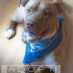 New York, New York - American Pit Bull Terrier. Meet Bingo, a for adoption. https://www.adoptapet.com/pet/9853390-new-york-new-york-american-pit-bull-terrier-mix