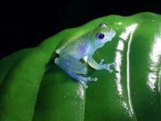 This little beauty is the Cochranella mache, Ecuadorian Glass Frog.  Found only in the Mache Mountains of Ecuador and the only one in the glass frog species to have this unique blue/green coloration.