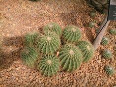 ถังทอง Golden Barrel Cactus