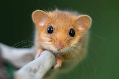 Five British animals you didn't know are endangered. A dormouse clinging to a branch. Baby Animals, Cute Animals, Woodland Art, Woodland Animals, Animal Print Outfits, British Wildlife, Watercolor Animals, Wild Ones, Endangered Species