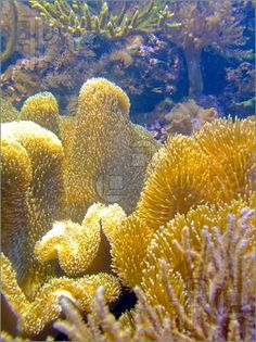 Coral reef, gold sponge w/ algae