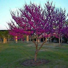 Eastern Redbud Tree Seeds (Cercis canadensis) 20 Seeds - Under The Sun Seeds - 1 Patio Trees, Landscaping Trees, Trees And Shrubs, Flowering Trees, Redbud Trees, Outdoor Landscaping, Trees To Plant, Backyard Plants, Garden Shrubs