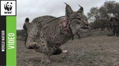 Zeldzame Iberische lynx terug in het wild