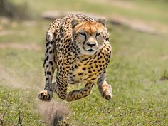 Cheetah/You have the eyes of a Cheetah!  Once you set your eyes on a target, you never lose it. You can run, jump, change course and launch without even blinking.
