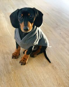 """Determine even more info on """"dachshund pups"""". Have a look at our website. Dapple Dachshund, Long Haired Dachshund, Mini Dachshund, Dachshund Puppies, Corgi Dog, Pet Dogs, Dachshund Gifts, Chihuahua Dogs, Doggies"""