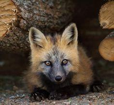 Cross Fox Kit by © Brittany Crossman