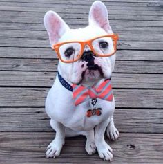 Nerdy and Adorable Hipster French Bulldog