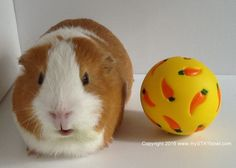 The Wheeky™ Treat Ball for Guinea Pigs, Rabbits and Other Small Pets - $2.95 FLAT-RATE SHIPPING ON ANY SIZE ORDER! (U.S. ONLY)
