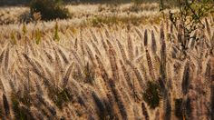 Musashino park, grasses called elephant grass, Chinese fountaingrass