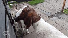 23 WTF Photos - weird goat gif
