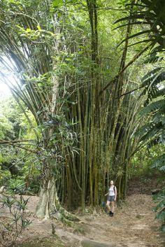 ˚Giant Bamboos, Mele Waterfalls - Shefa, Vanuatu