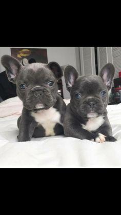 Blauwe Franse bulldog