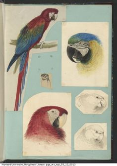 Lear, Edward,1812-1888. Edward Lear drawings of animals and birds,ca. 1831-1836. MS Typ 55.12. Houghton Library, Harvard University, Cambridge, Mass. http://nrs.harvard.edu/urn-3:FHCL.HOUGH:5127407?n=13