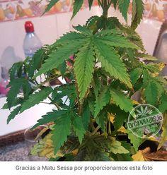 Síntomas típicos cuando la planta entra en floración. Hojas con tonalidad amarilla entre las venas, puntas y bordes quemados. Esto es carencia de potasio.