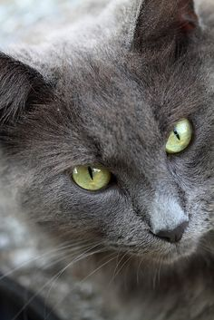 Gray Cat is Gray - What make grey cat a lucky cat, know why at Catsincare.com!