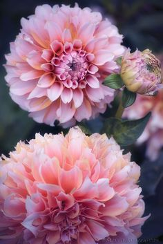 Dahlias, I always think of Kath M. (Pat grew them annually for her to pick for a vase & to copy)