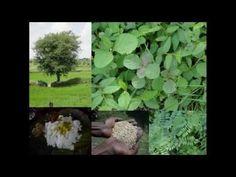 Medicinal Rice B4 Formulations for Corneal Abscess: Pankaj Oudhia's Medi...