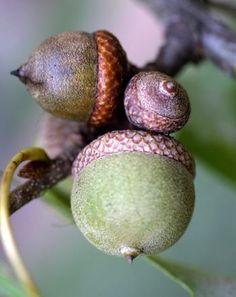 Quercus palustris  - Fruits