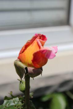 orange/pink rose