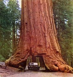 The Coast Redwood -also known as the Giant Redwood, California Redwood or Coastal Sequoia.