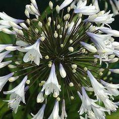 Agapanthus 'Enigma' Afrikaanse lelie kleur wit met een vleugje violetbloeit van juli tot augustusfamilie Agapanthaceaehoog 75 cmplaats zon, warm sier, snijbloem, potplant Overwegend wit voor het oog maar tegelijk elegant tweekleurig van violet naar wit verlopend, wat diepte geeft aan de grote volle bloemschermen op stevige stengels. Bladhoudend, dus misschien het best in pot en in koude kas of beschut overwinteren. Wonderlijk wit.
