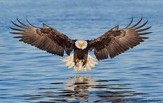 Eagle a moment before touch down, Kachemak Bay Alaska. R. Otoole.