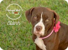 05/22/16 - Pearland, TX - Boxer/Labrador Retriever Mix. Meet Starr, a dog for adoption. http://www.adoptapet.com/pet/15247033-pearland-texas-boxer-mix