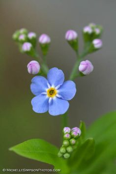 Perfect Forget Me Not. Love this flower. Is the state flower of Alaska. :)