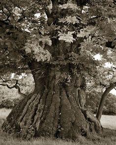 Árvores Ancestrais (12)