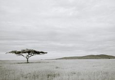 THE SERENGETI IN TANZANIA IN AFRICA. Photography by Shaun Higson. africa, african, landscape, landscape photography, photography, acacia tree, tree, trees, freedom, liberty, serenity, solitude, meditation, mindfulness, minimalism, nature, natural, peace,   serengeti, tanzania, inspiration, black and white,     black and white photography, panorama, dream, beauty, beauty of nature, enchanting