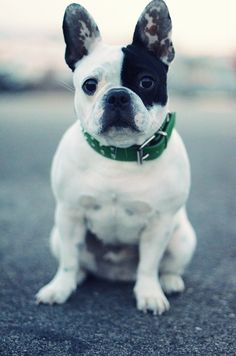 Bonjour, Perfectly Pied French Bulldog.