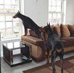 Doberman Pinschers on the lookout. :-)