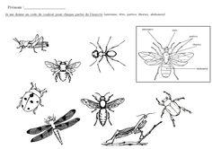 les différentes parties des insectes à colorier
