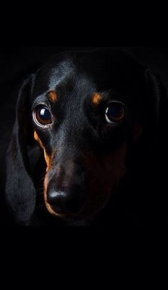 Such a Regal Dachshund Portrait
