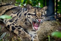 Clouded Leopard - Francisco Herrera