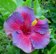 Electric blue hibiscus! Soooo pretty!