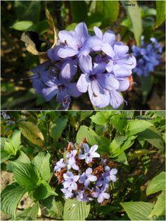 Kala Jatee (কালা যাতী ফুল) - Blue Sage - Eranthemum Pulchellum