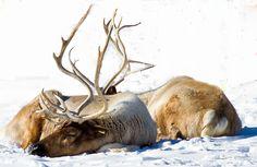 Resting reindeer
