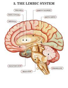 3-limbic-system-1.jpg (800×1035)